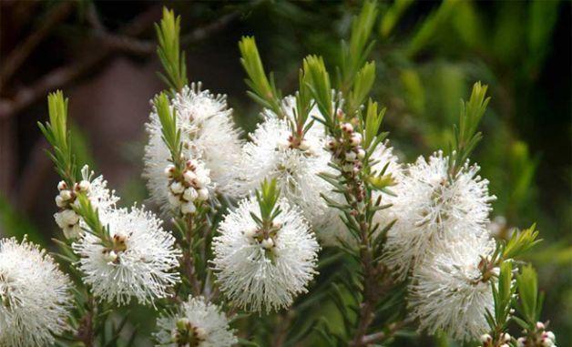 Tea tree oil olio essenziale (20 ml)